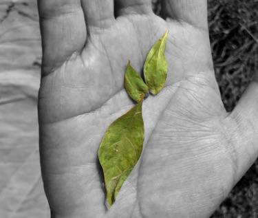 写真:手のひらに乗ったヘナの葉